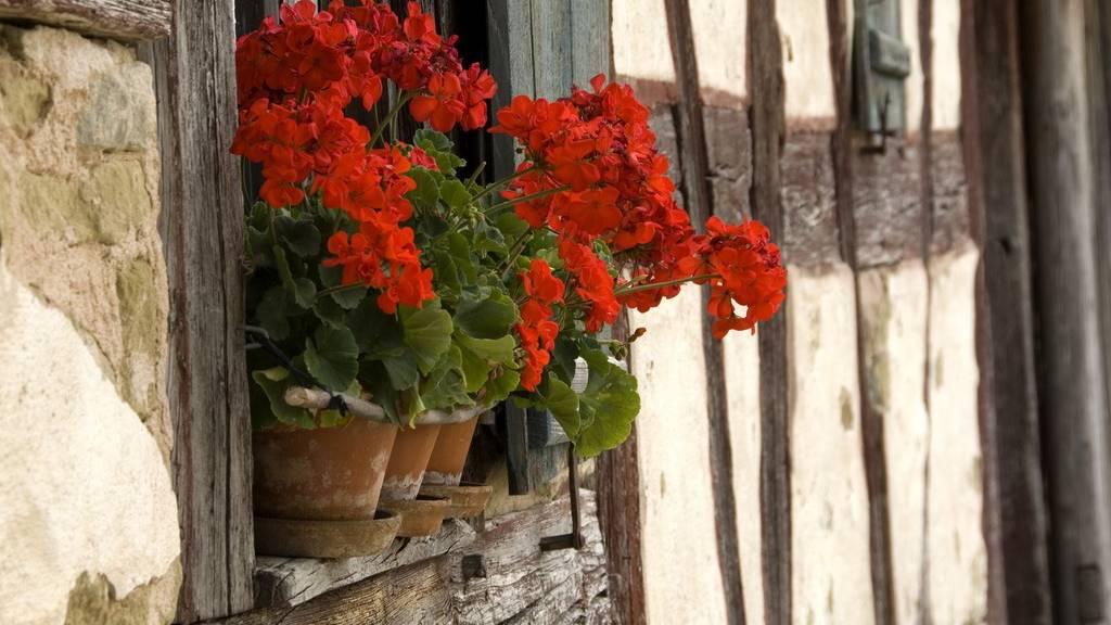 Mindig csipkedjük le a muskátli elszáradt leveleit, virágait