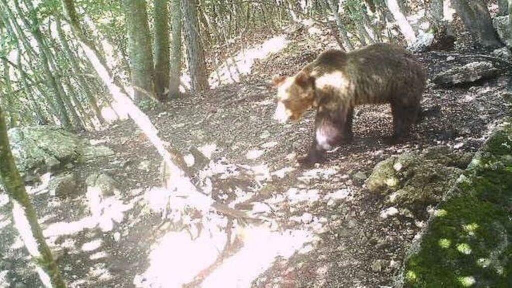 Ez volt a medve körözési fotója (Fotó: Trento megye sajtóhivatala)