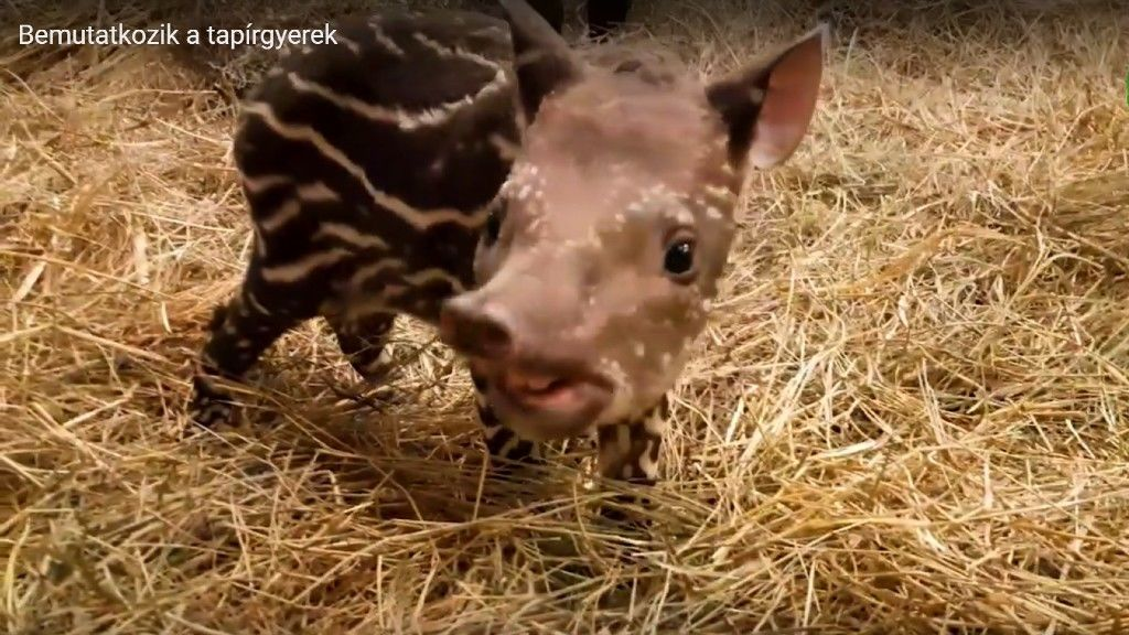 Kistapír született a Budapesti Állatkertben – A róla szóló kisfilm elolvasztja a szíveket