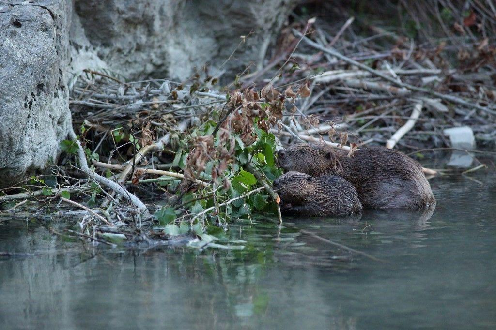 Hódgyerek és anyja egy franciaországi folyóparton