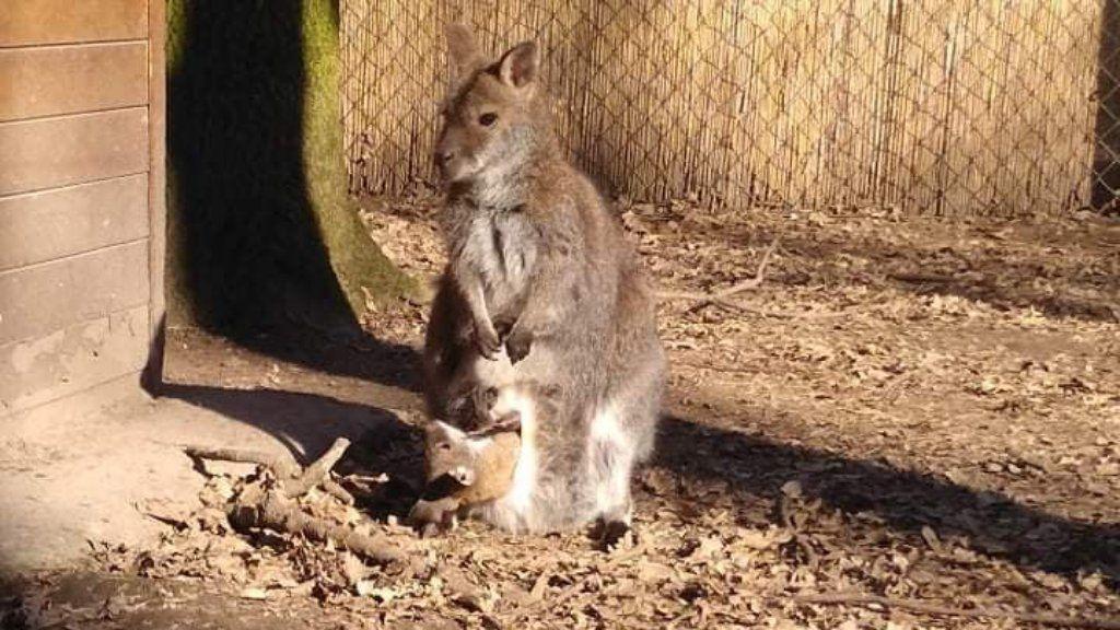 benett kenguru szegedi vadaspark