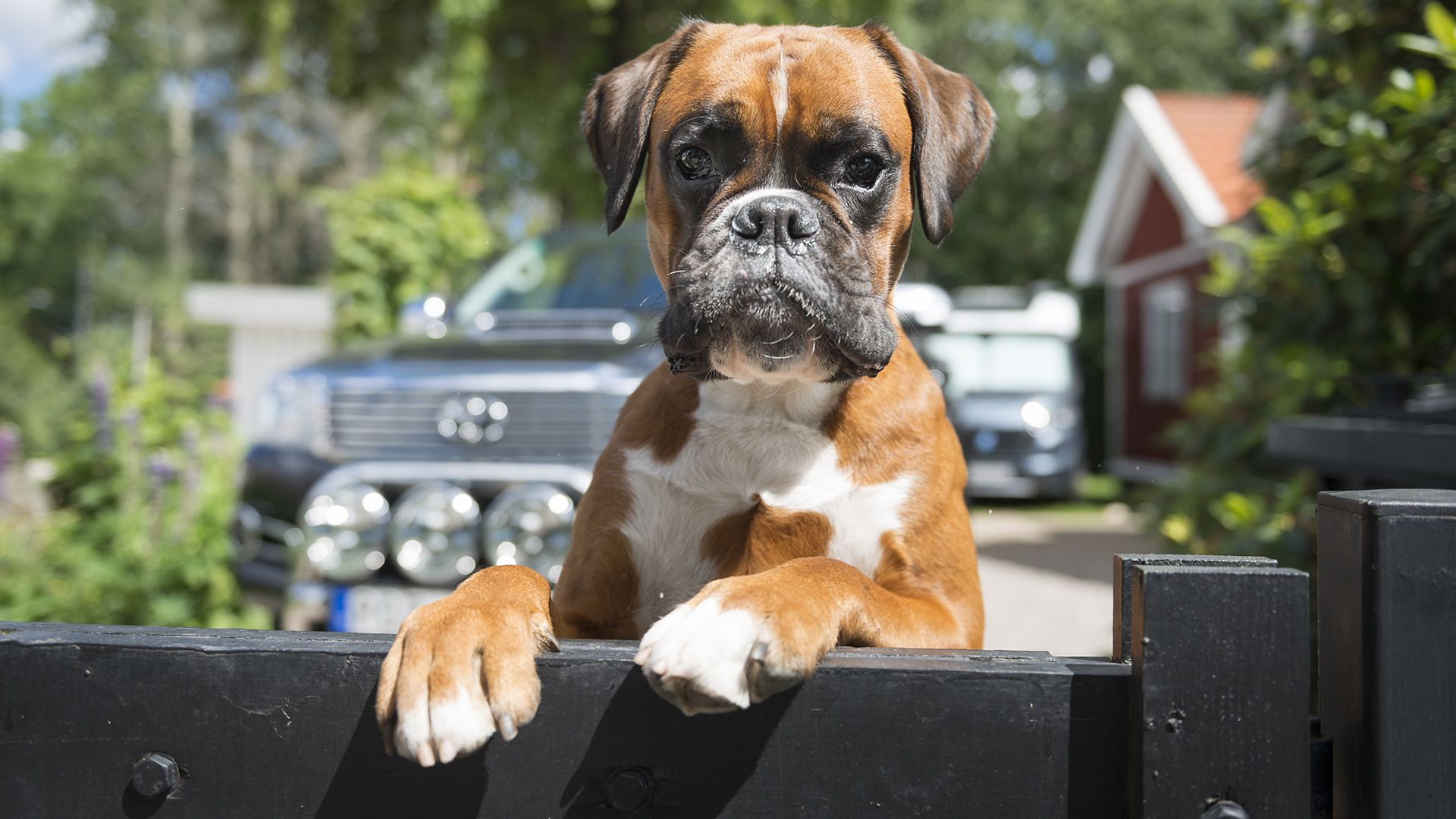 Boxer várja a gazdáját