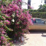 A bougainvillea Cipruson is virít