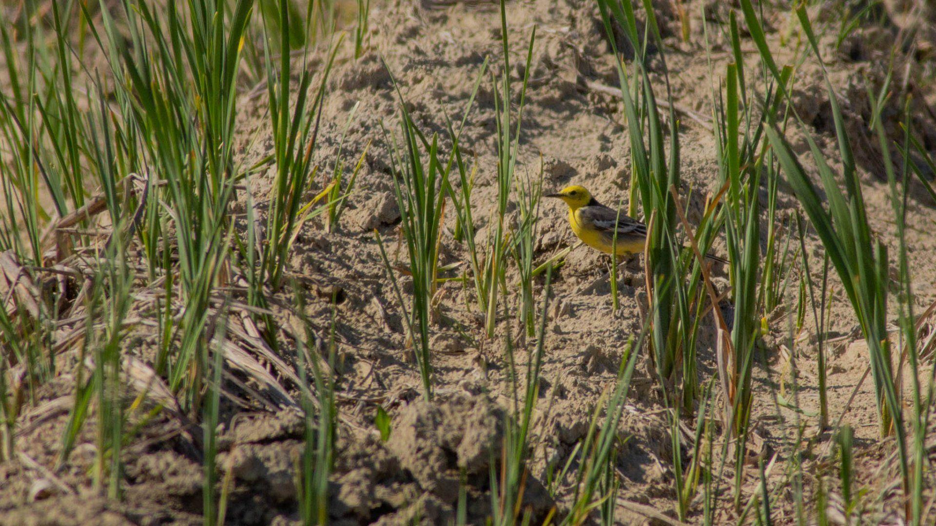 citrombillegető madár
