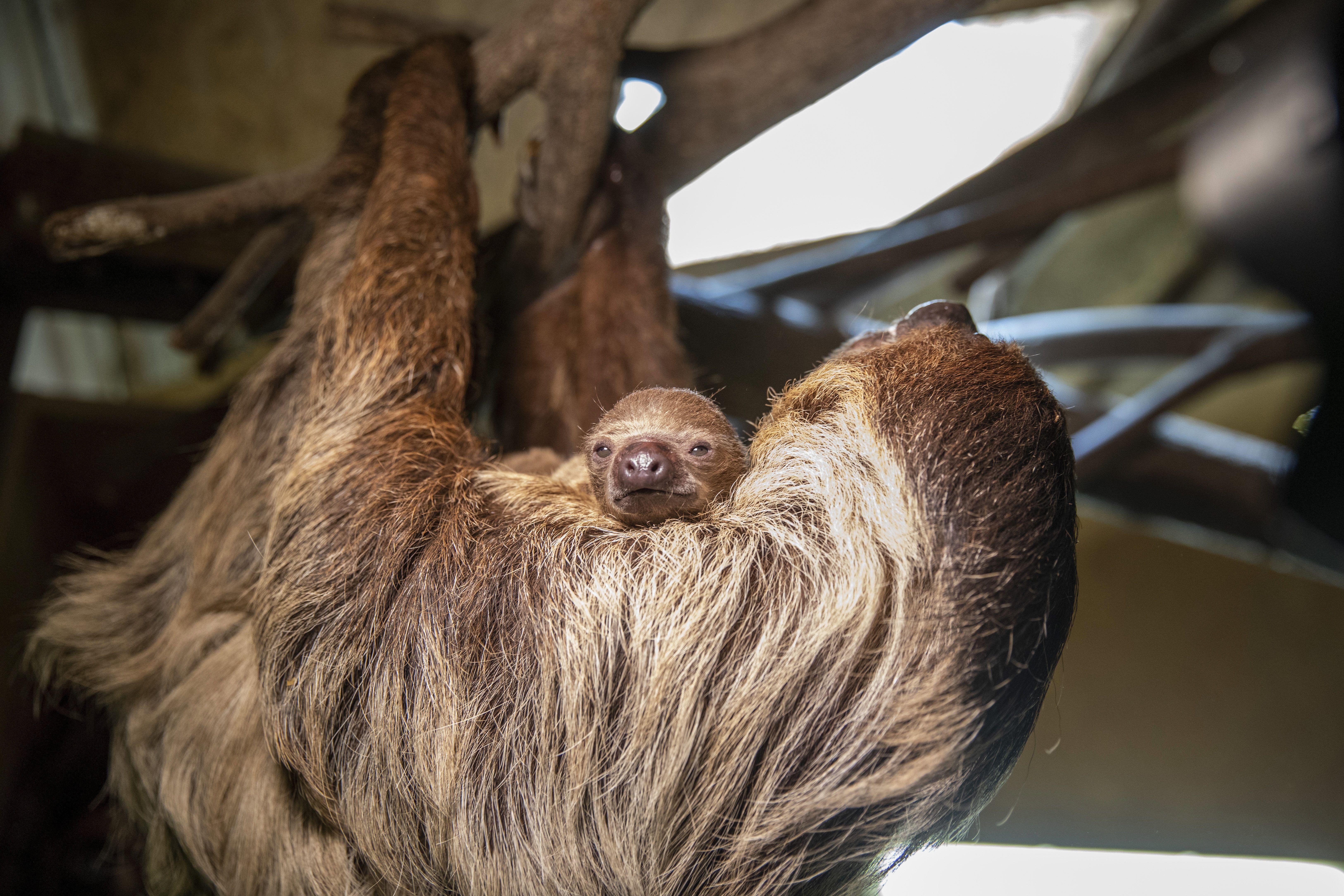 Kétujjú lajhár a közelmúltban született kölykével a Szegedi Vadasparkban 2020. április 29-én