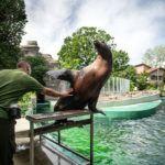 Oroszlánfókák a Budapesti Állat- és Növénykertben
