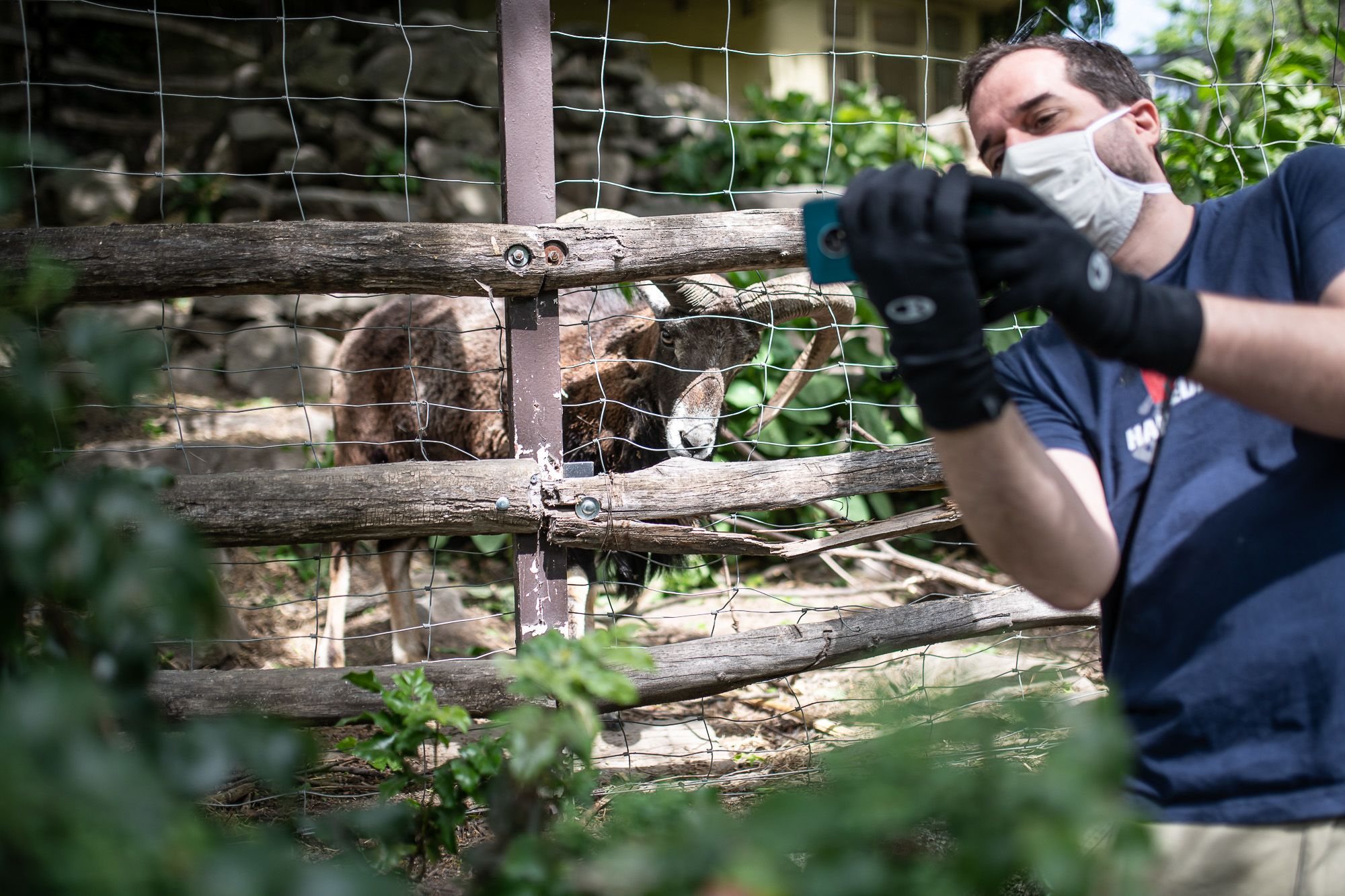 Mufi, a muflon a Budapesti Állatkertben