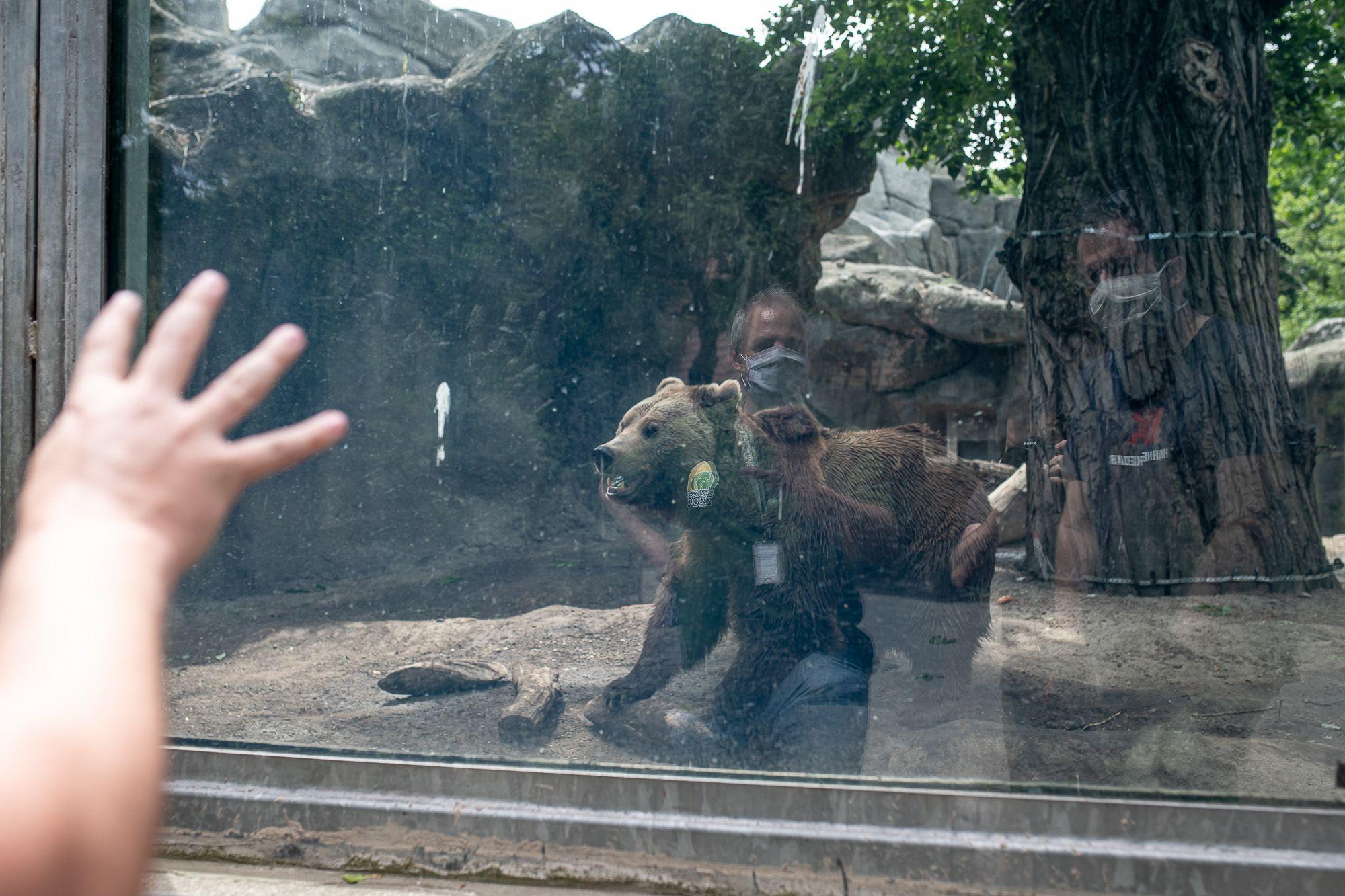 Barnamedve a Budapesti Állat- és Növénykertben