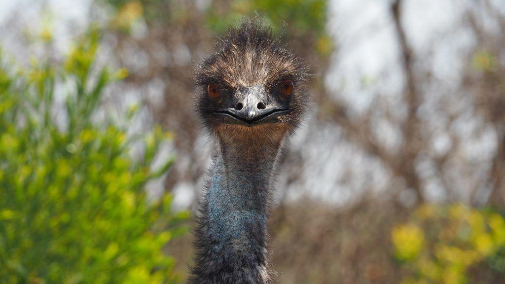 Elszökött egy emu, Oroszlányban találták meg.