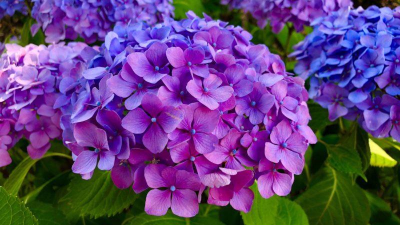 A hortenzia csodaszép viráglabdákkal hálálja meg a gondoskodást