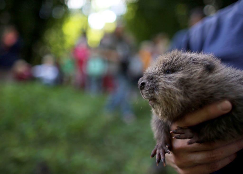 A wuppartali állatkertben három hódbébi született