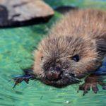 Áradás után mentették a német állatvédők Momót, a 3 hónapos hódkölyköt