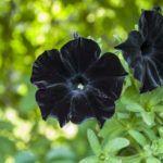 Fekete petúnia is létezik