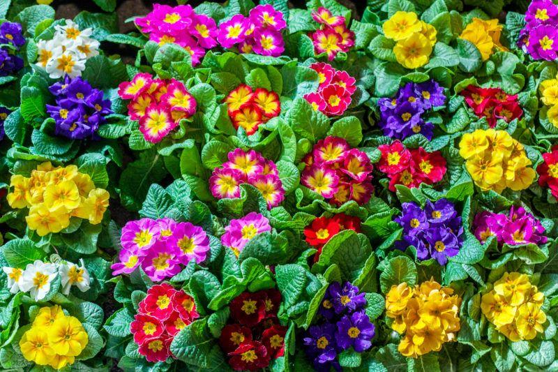 Színes virág a kankalin, vagyis primula
