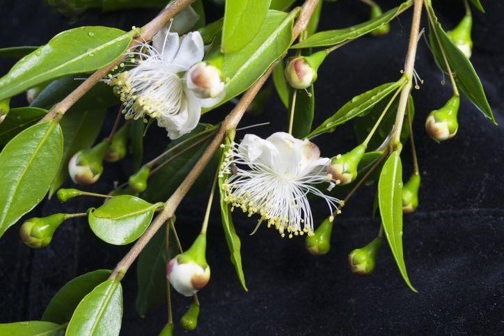 Mirtusz, Camilla hercegnő kedvenc virága