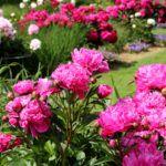 Pazar látvány a virágoktól roskadozó bokor