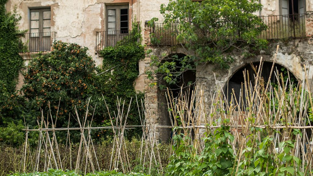 Futóbab az elhagyott ház előtt.