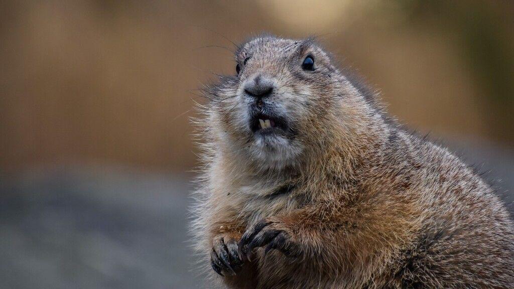 Igazán szabálykövető hódot videóztak Szekszárdon