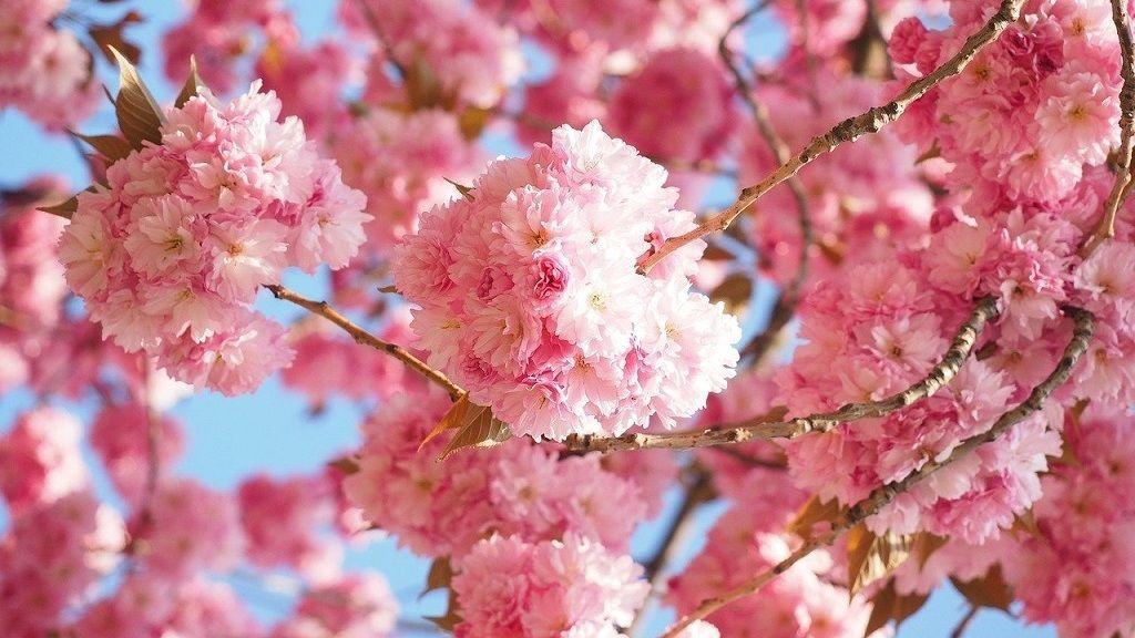 Finnországban már virágoznak a cseresznyefák