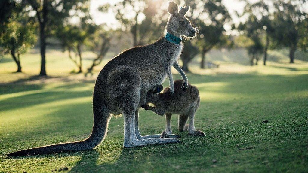 Ilyen a kenguru erszénye belülről.