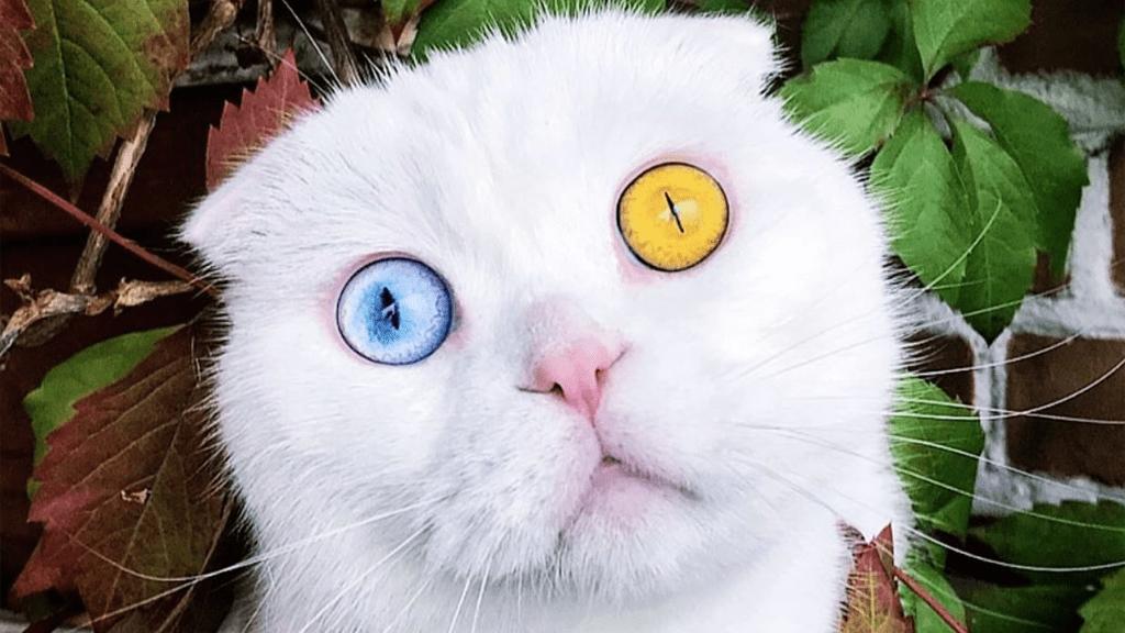 A heterokrómiás cica egy csodalény.