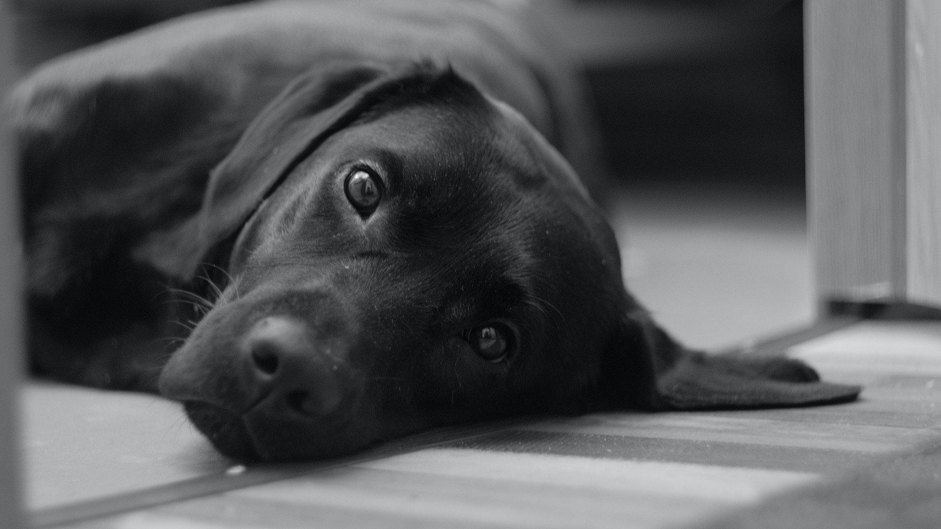 kutya labrador