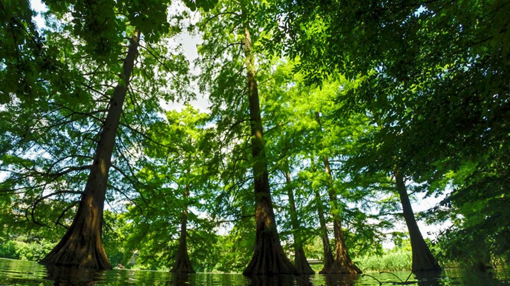 A mocsári ciprus a szarvasi arborétum egyik különleges fája)