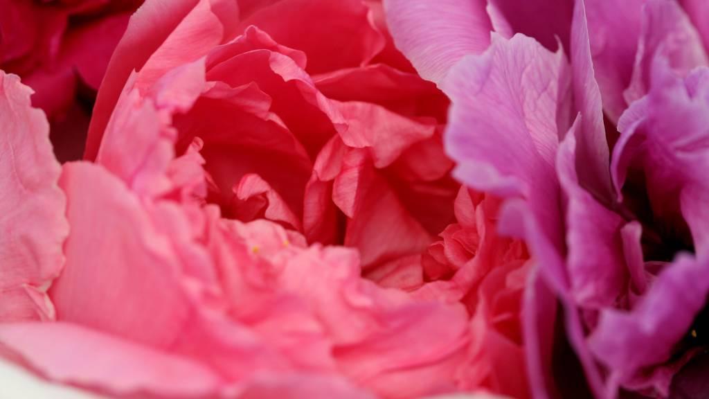 Májusban virágzik a Pünkösdi rózsa