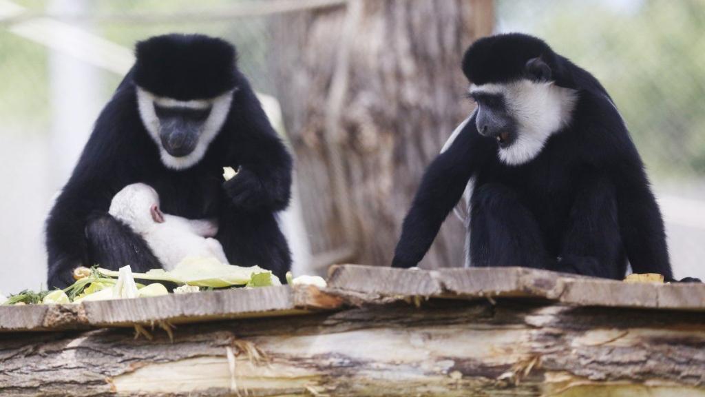 Az újszülött kolobusz a Pécsi Állatkertben