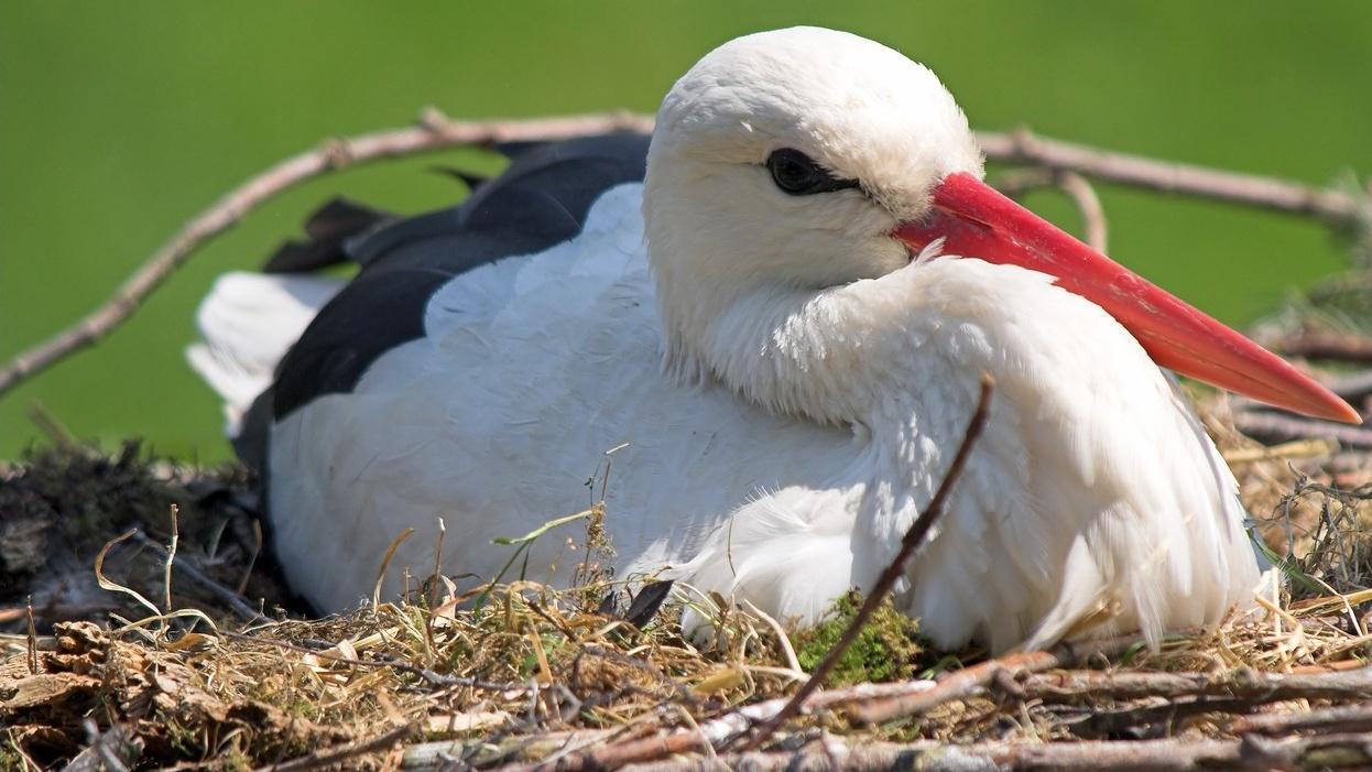 Fogyatkoznak a gólyák