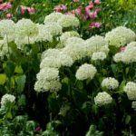 A fehér hortenzia színe nem változtatható