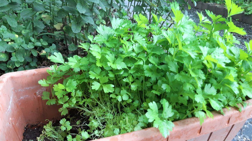Szárzeller saláta mikrozöldként