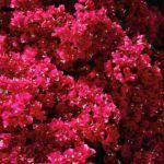 Lila, rózsaszín, piros és sárga is létezik.