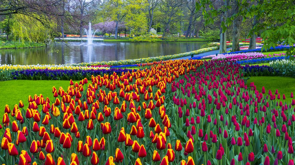Tulipánok, amerre a szem ellát.