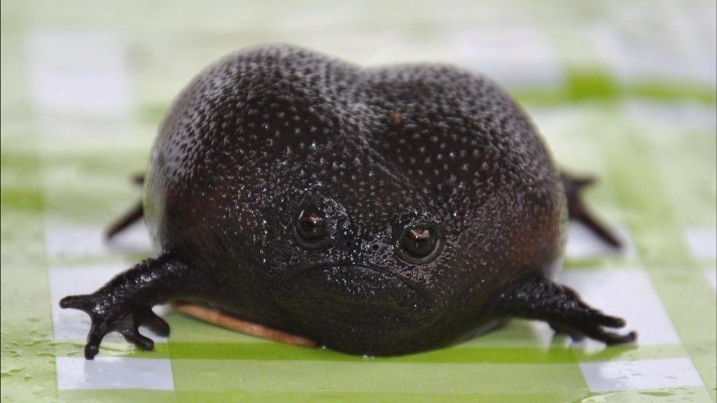 Fekete esőbéka