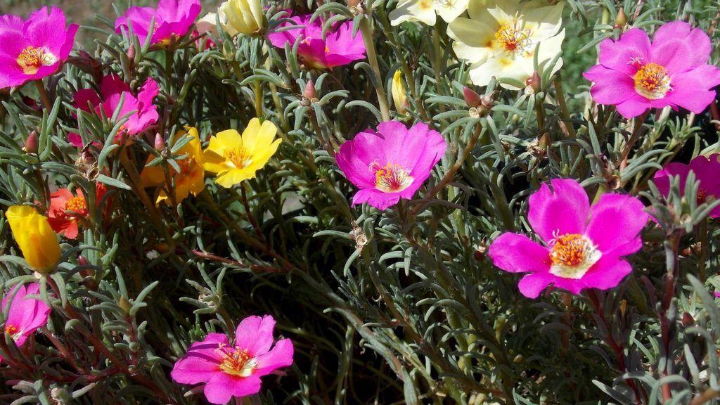 A porcsinrózsa szerény, de színpompás virág (Fotó: BarBus / Pixabay)