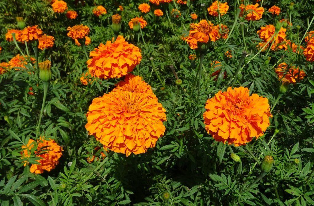 Virágzó tagetesek. Az elszáradt virágokat egyben kiemeljük a csészéből és előbukkannak a magok. (Fotó: Bishnu Sarangi / Pixabay)