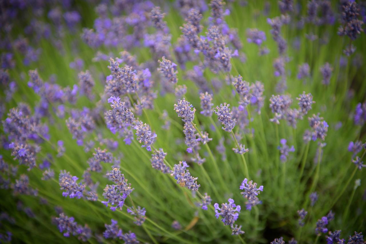 A levendula gondozása egyszerű, főleg ahhoz képest, hogy ez a gyönyörű növény milyen sok örömet ad a gazdájának
