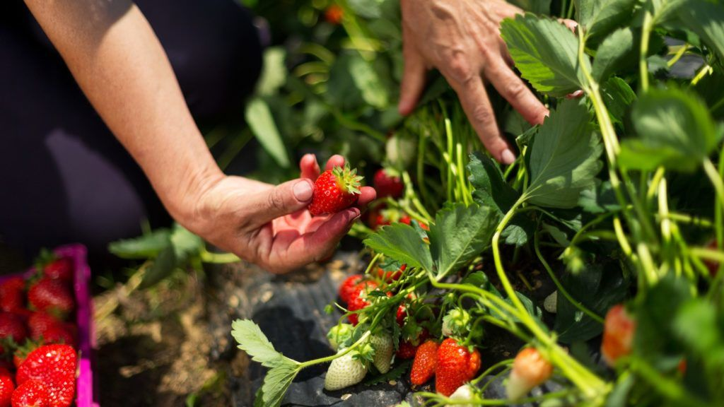 Csak a szép, egyenletesen piros epret érdemes leszedni. (Fotó: Getty Images)
