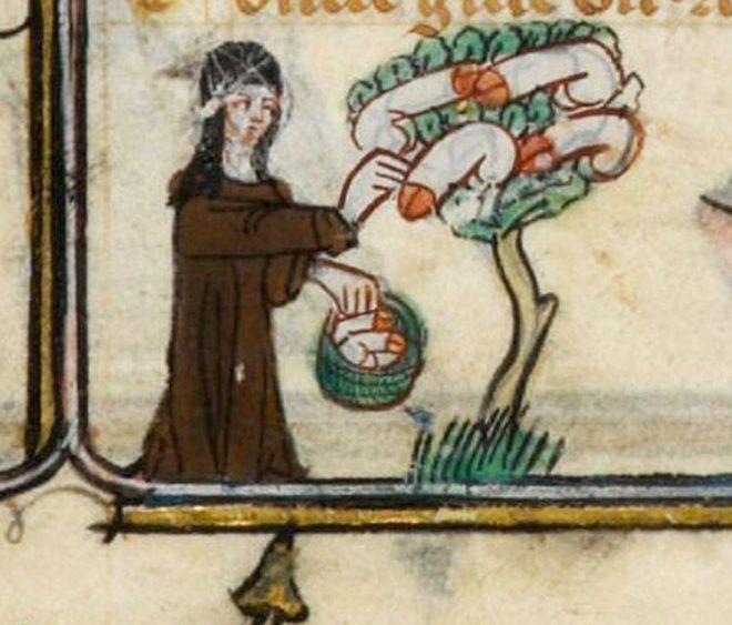 Szépen terem a péniszfa (forrás: gallica.bnf.fr)