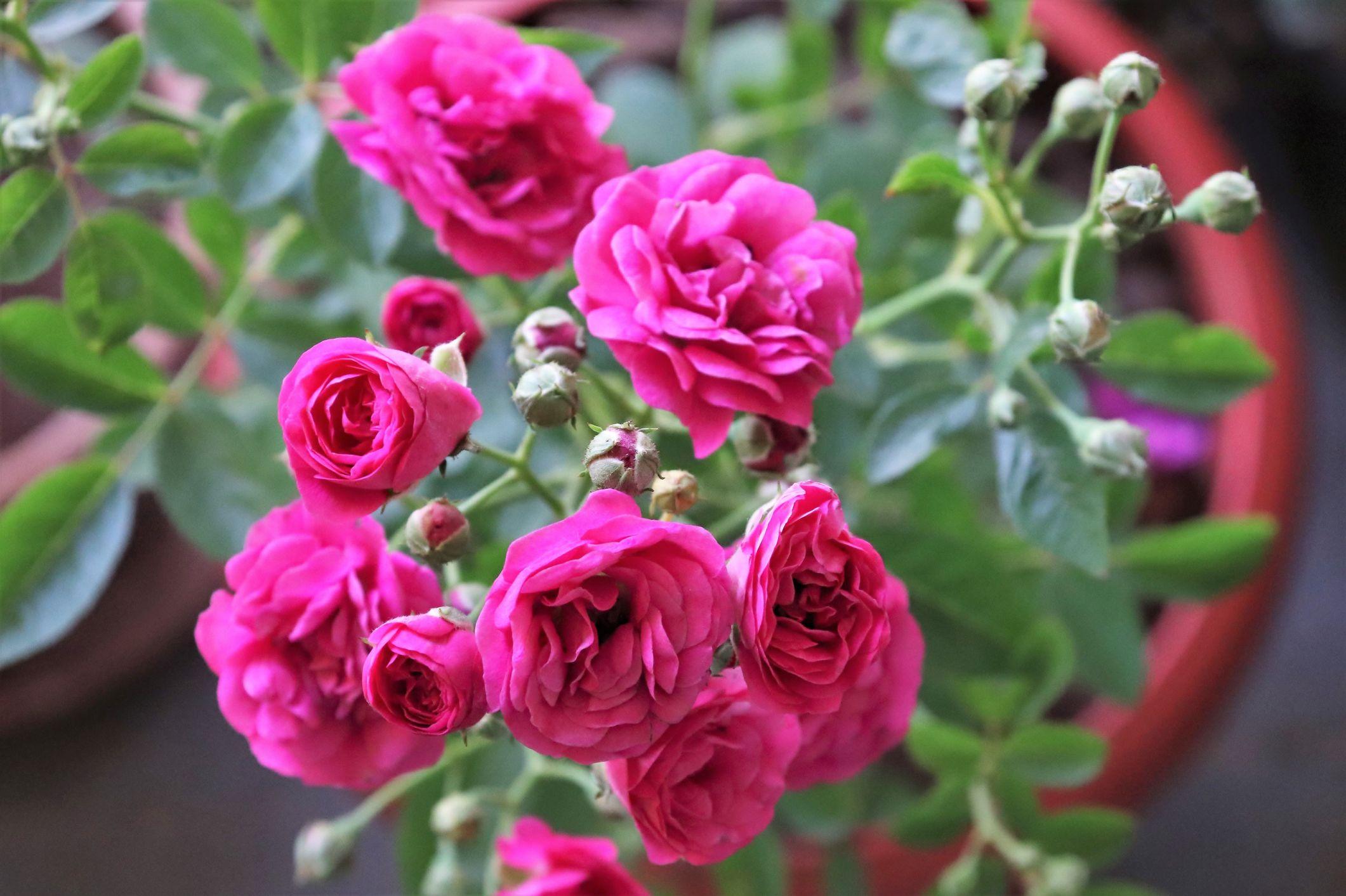 Ha nincs kerted, a rózsákról azért nem kell lemondanod