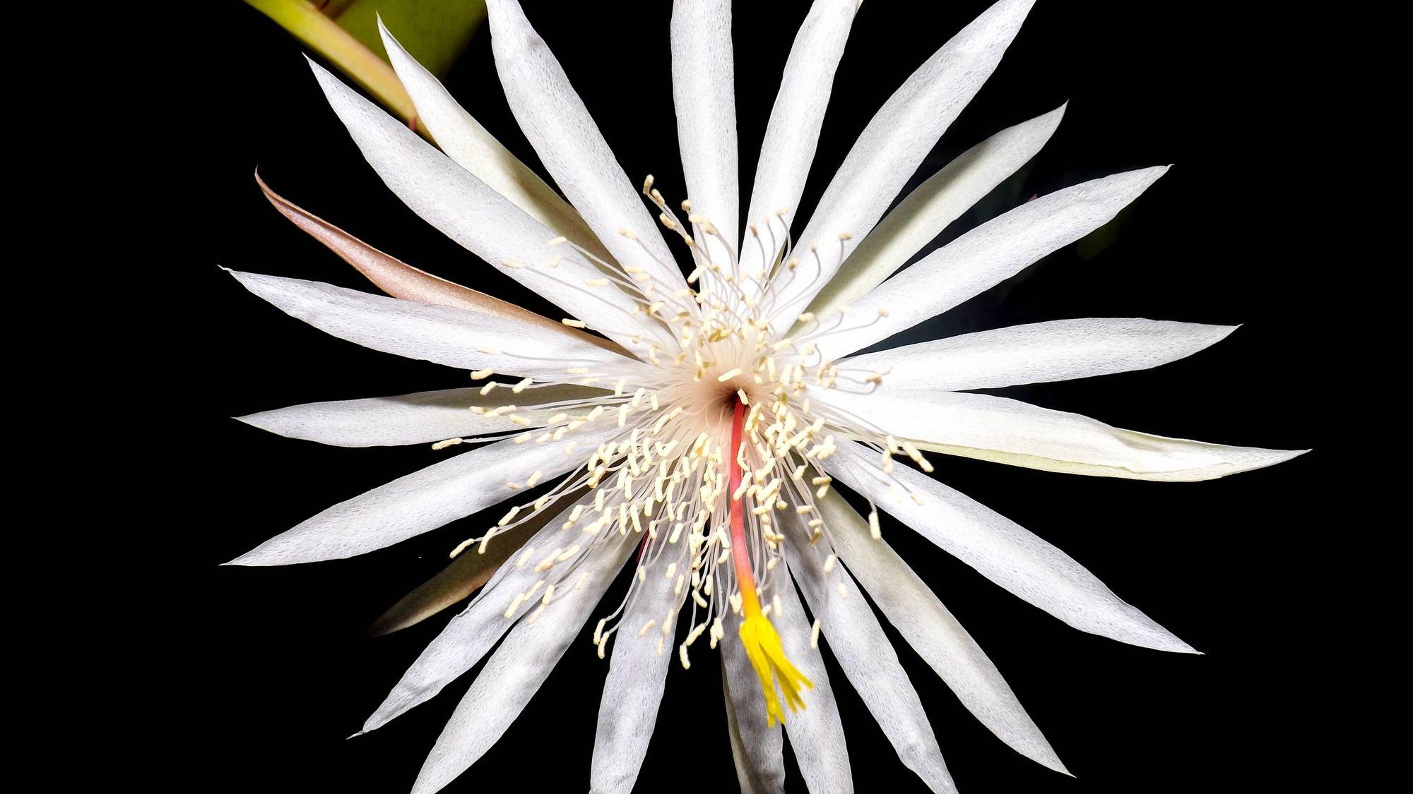 Kadupul virág