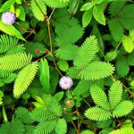 Mimóza a kertben