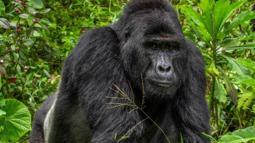 rafiki gorilla