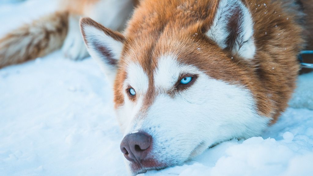 Imádja a jégfürdőt a husky.