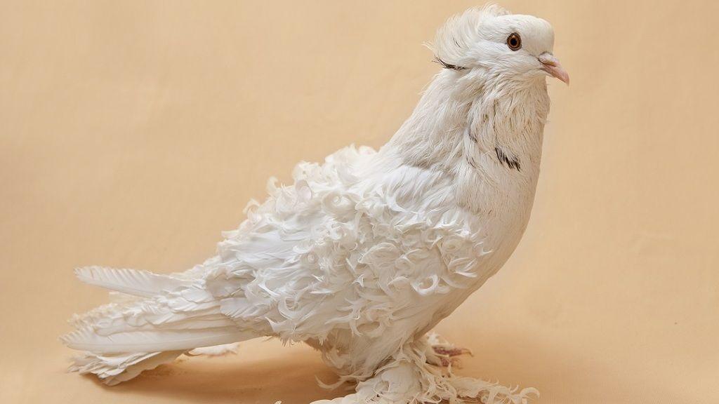 Fodros tollú galamb - Fotó: Getty