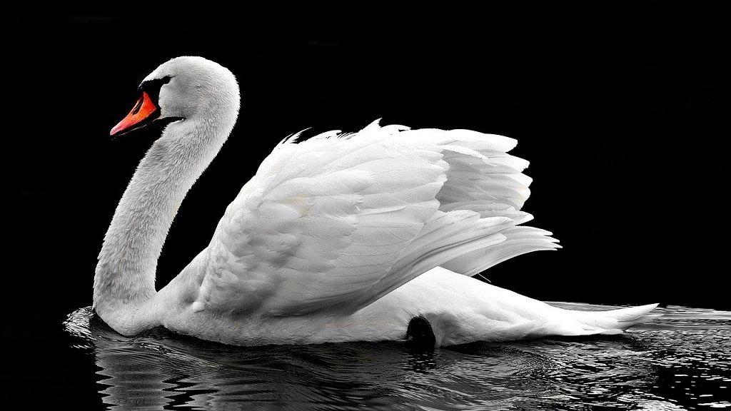 Hattyú - Fotó: Pixabay