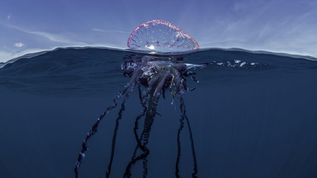 Hatalmas és ritka medúzát videóztak le
