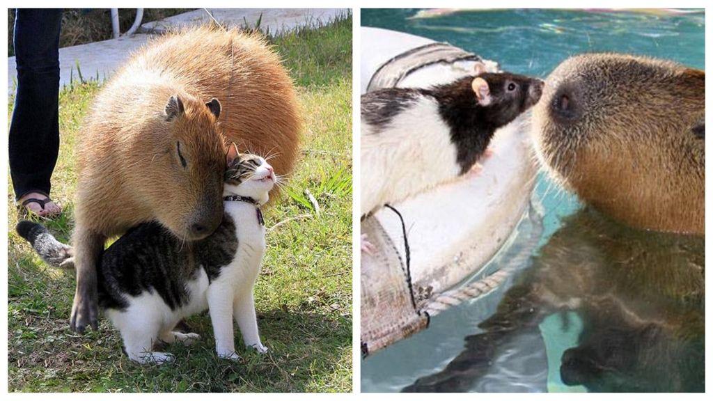 A kapibara az állatvilág zen mestere