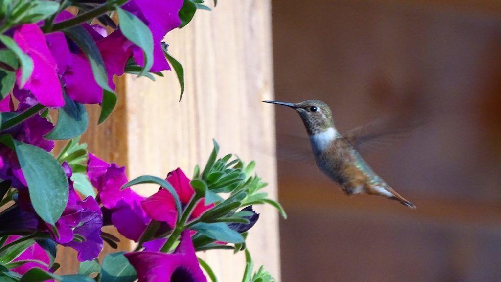 Ilyen pici kolibrit még biztosan nem láttál!